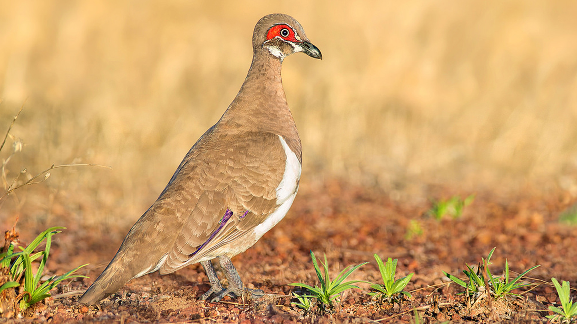 The Partridge Pigeon is a threatened species that our work aims to protect
